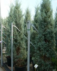 poza Arbori rasinosi CUPRESSUS ARIZONICA FASTIGIATAghiveci 30 litri, h=175-200 cm pt garduri vii