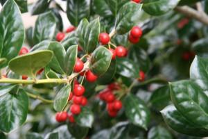 poza Arbust frunze persistente Ilex Nellie Stevens, ghiveci 35-50 litri, h=125-150 cm Extra
