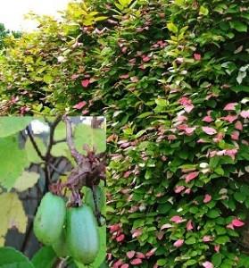 poza Arbusti fructiferi Kiwi, Actinidia kolomikta,' Dr Szymanoswski', ghiveci 1l,h=20 cm