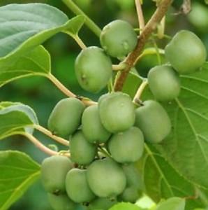 poza Arbusti fructiferi Kiwi, Actinidia arguta,' Jumbo', ghiveci 1l,h=20 cm