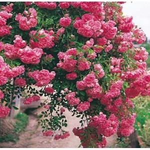 poza Trandafiri urcatori  Super Dorothy` in ghiveci de 2 litri