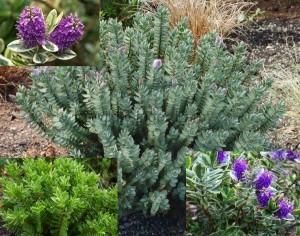 poza Flori perene Hebe  spp.  25cm,