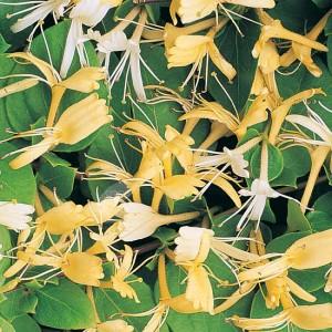 poza Plante parfumata cataratoare Mana Maicii Domnului (Lonicera japonica) soiuri mix ghiveci 3 litri, h=80-100 cm