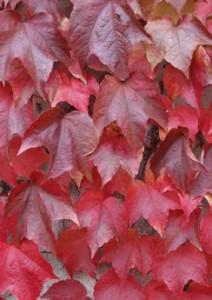 Poza Plante urcatoare Parthenocissus tricuspidata