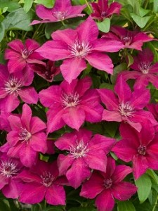 Poza Clematis