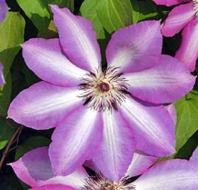poza Plante agatatoare Clematis` Serafina ` ghiveci `2 litri, h=80-100 cm