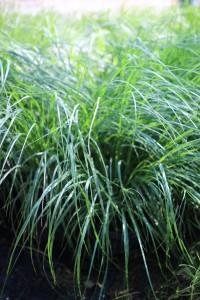 poza Ierburi graminee Miscanthus sinensis Zebrinus Strictus, la ghiveci de 3 litru