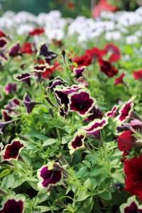 poza Plante de balcon petunii curgatoare culori mixte (Petunia hybrida pendula)