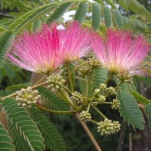 poza Arbori foiosi ALBITIA JULIBRISSIN OMBRELA /Arborele de matase 8/10 circumf. trunchi (ghiv. 30 litri)