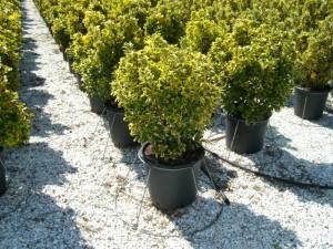 poza Arbust frunze persistente EUONYMUS JAPONICUS ELEGANTISSIMUS AUREUS, bila ghiv 18 litri, diametru 40 cm