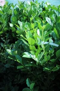 poza Arbusti foiosi evergreen PRUNUS LAUROCERASUS ROTUNDIFOLIA ghiveci 7 litri, h=80/100, pentru garduri vii