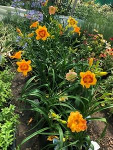 poza Flori perene HEMEROCALIS  orange in ghivece de 3 litri,