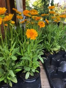 poza Flori de gradina perene COREOPSIS/ COREOPSIS GRANDIFLORA ghiv 15 cm
