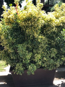 poza Arbust frunze persistente EUONYMUS JAPONICUS ELEGANTISSIMUS AUREUS, cassete  40/100/110 CM