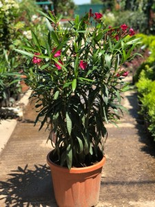 Poza Plante de balcon NERIUM OLEANDER (leandru roz) ghiveci 8 litri h=100-. Poza 11690