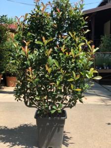 poza Arbusti evergreen PHOTINIA FRASERII Robusta Compacta, ESPALIER, inaltime 90 cm