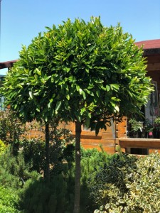 poza Arbusti foiosi evergreen PRUNUS CAROLINIANA 1/2, DIAMETRU 60-80 CM