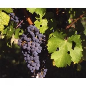 poza NOU !! Vita de vie, soiul `Cabernet Sauvignon`, planta la ghiveci