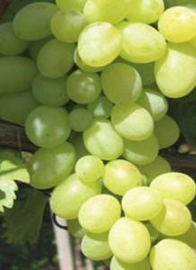 poza Vita de vie, soiul `Tereza`,planta la ghiveci
