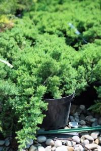 Poza Arbusti rasinosi JUNIPERUS PROCUMBENS NANAghiveci 7 litri, 40 cm. Poza 11622