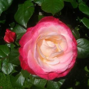 poza Trandafiri altoiti pe picior h=1,5 m Nostalgia, colorati si parfumat la ghiveci