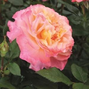 Poza Trandafiri altoiti pe picior h=1.5 m. Augusta Luise, colorati si parfumat la ghiveci. Poza 11757