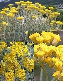 poza Plante medicinale Helichrysum italicum (Nemuritoarea) in ghiveci de 1 litru