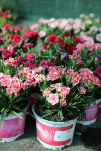 poza Flori de gradina perene GAROFITE/ `Dianthus mix`ghiv. 14 cm