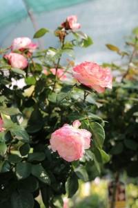 poza Trandafiri altoiti pe picior h=1,5 m Augusta Luise, colorati si parfumat la ghiveci