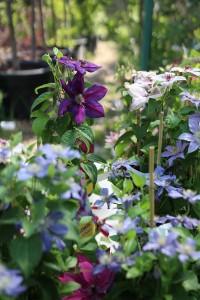 poza Plante agatatoare Clematis  culori  mix ghiveci 2 litri, h=100-125 cm