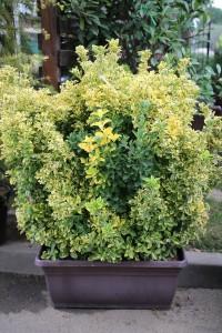 poza Arbust frunze persistente EUONYMUS JAPONICUS ELEGANTISSIMUS AUREUS jardiniere de gard viu 1m  h= 100-125 cm