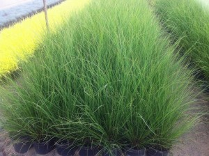 poza Ierburi graminee Pennisetum alopecuroides Hameln
