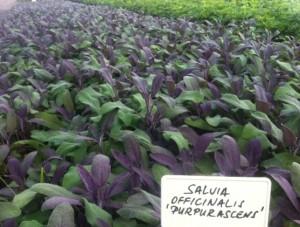 poza Plante aromatice de gradina 'Salvia Officinalis'  var. purpurascens in ghiveci de 1 litru