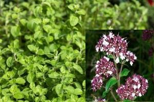 poza Plante aromatice de gradina, Oregan, (Origanum vulgare)  in ghiveci de 1 litru
