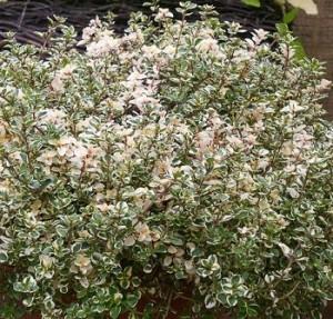poza Plante aromatice de gradina Thymus pulegioides 'foxley' in ghiveci de 1 litru