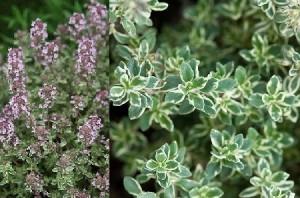 poza Plante aromatice de gradina Thymus 'Silver Posie' in ghiveci de 1 litru