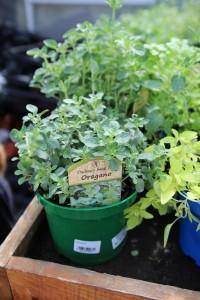 poza Plante aromatice de gradina Oregano in ghiveci de 1 litru