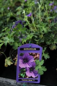 poza Flori de gradina perene GERANIUM HEXHAM VELVEL la ghiv de 1 litru