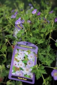 poza Flori de gradina perene GERANIUM 'AZURE RUSH' la ghiv de 1 litru