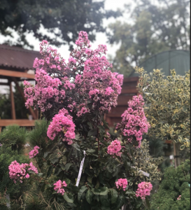 poza Lagerstroemia indica Petite Pink ghiveci 18 l, h=180cm
