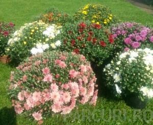 poza Flori de gradina perene CRIZANTEMA LA GHIVECI  14 cm  / CRIZANTEME CULORI MIXTE SUPERBE