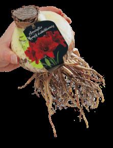 poza Bulbi Red Nymph Dubbel 1 buc/pachet, culoare grena cu floare dubla