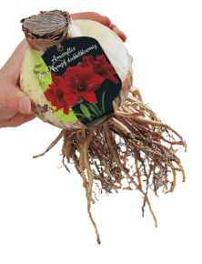 poza Bulbi Amaryllis Red Nymph Dubbel 1 buc/pachet, culoare grena, floare dubla