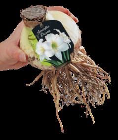poza Bulbi Amaryllis Picotee 1 buc/pachet, culoare alb