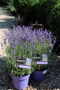poza Plante aromatice Lavanda (Lavandula Angustifolia HIDCOTE) C10