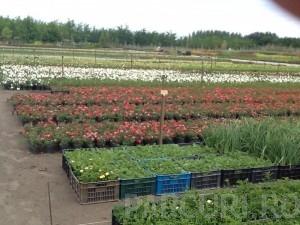 poza Trandafiri pitici de gradina ROZ plante in ghiveci P 9.5