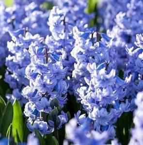 poza Bulbi de zambile, Blue Tango 3 buc/punga, culoare albastru floare batuta