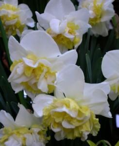 poza Bulbi de narcise, Sir White Lion 5 buc/punga, floare batuta, petalele din centru galbene pe margine albe