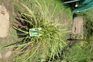 poza Ierburi graminee decorative Carex Ice Crem ghiv 1l