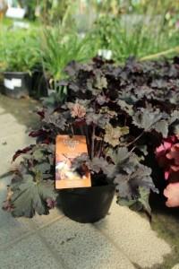 poza Flori de gradina perene Heuchera BLACK PEARL P15